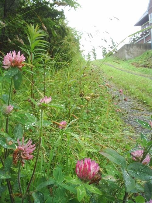 Beautiful medicine...きれいな薬~Red clover